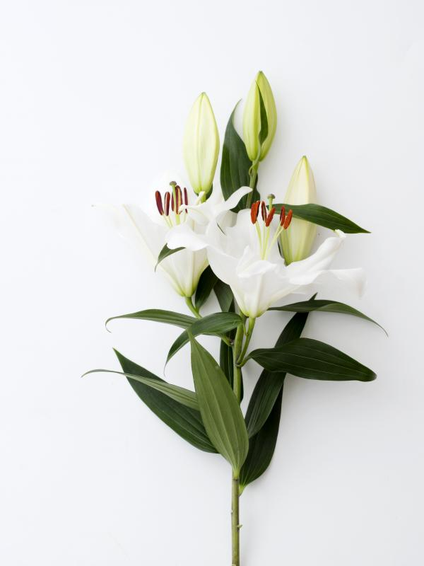 the lily a remarkable flower bursting with symbolism funny how flowers do that