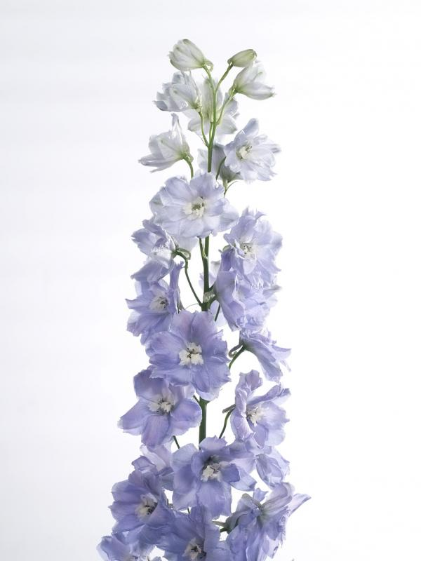 Delphinium Funnyhowflowersdothat.co.uk