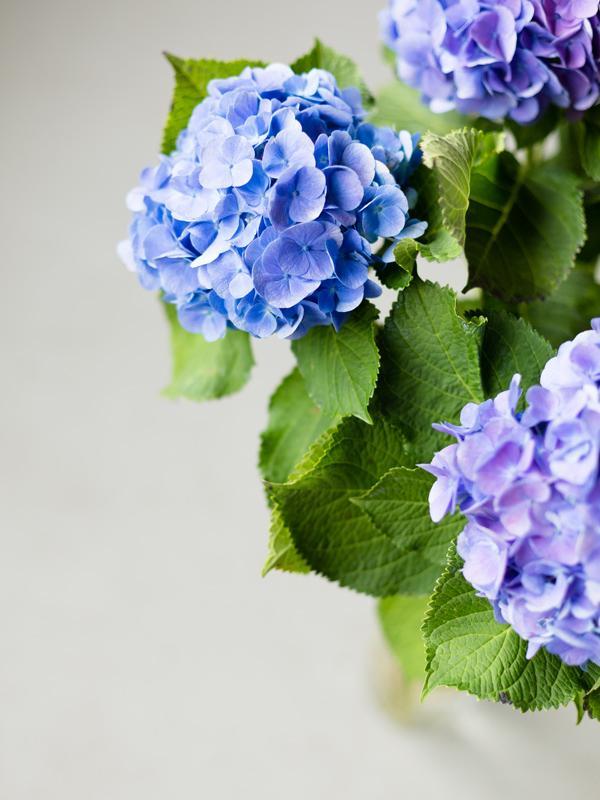 Hydrangea Funnyhowflowersdothat.co.uk